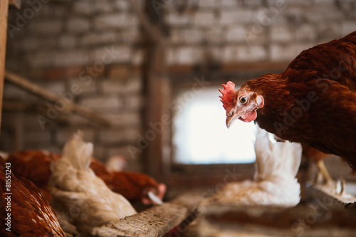 Papiers peints Poules chickens in the coop