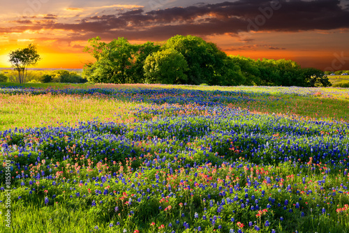 Texas Wildflowers - 81551403