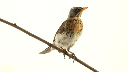 thrush (Turdus pilaris) on white screen