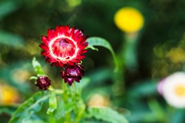 Bracted Strawflower,Paper Daisy,Everlasting Daisy