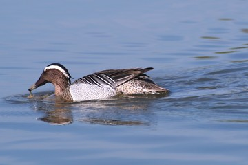 Garganey dabbling duck swimming in the wetlands