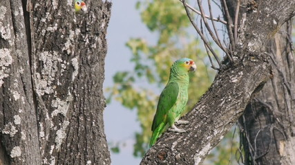Two Wild Yellow Cheek Parrots