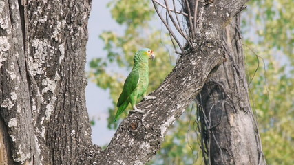 Yellow Cheek Parrot on Tree