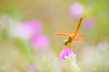 Dragonfly on Globe Amaranth  flowers.