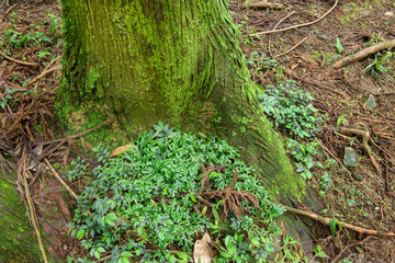 Old mossy trunks
