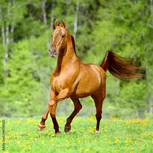 Golden red horse runs trot in summer time
