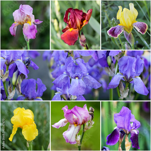 Foto op Canvas Iris Iris flower collage with different colors