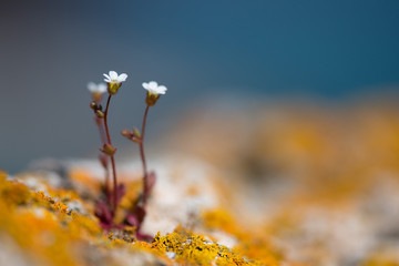 wild white rock flowers - selective focus, copy space