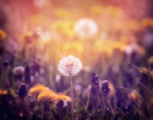 Dandelions on the meadow at sunset