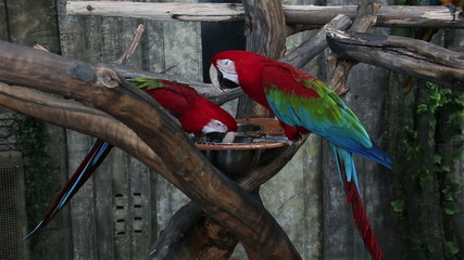 Two bright macaw parrot eating