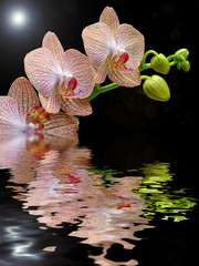 Kwitnący storczyk