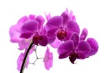 Fototapety Macro shot of pink orchid isolated on white
