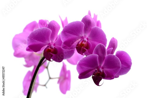 Papiers peints Orchidée Macro shot of pink orchid isolated on white