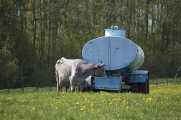 Cow on a pasture drinking water