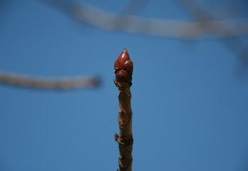 bud chestnut 3