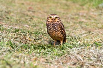 Super Owl