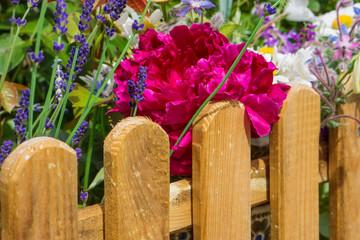Holzzaun, Pfingstrose, Lavendel
