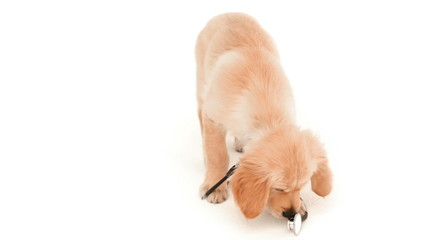 Cute puppy playing with stethoscope