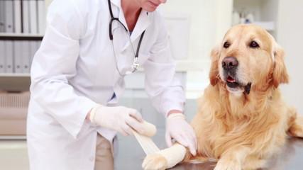 Smiling female vet bandaging dogs leg