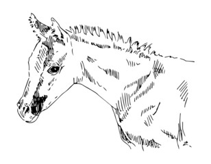 arabian foal sketch vector portrait