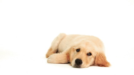 Cute puppy lying down