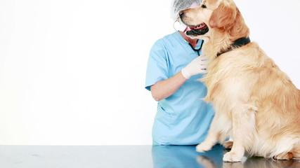 Veterinarian examining a cute labrador