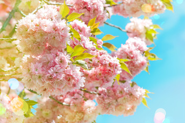 Blossoming of pink cherry blooms over blue sky. Spring flowers