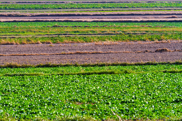 Spring agricultural fields with green plants and fallow plowed s