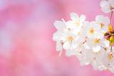 さくら (ソメイヨシノ) ピンクの桜背景に