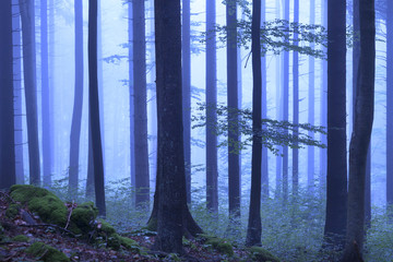 Mystical blue color foggy woodland