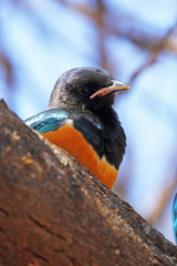 Superb starling on a tree