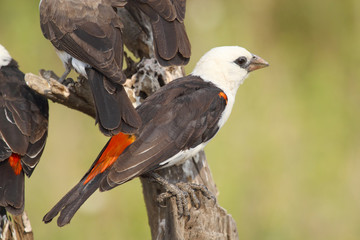 White-headed Buffalo Weaver perched on a branch