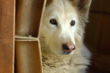 Seniorhund, q.