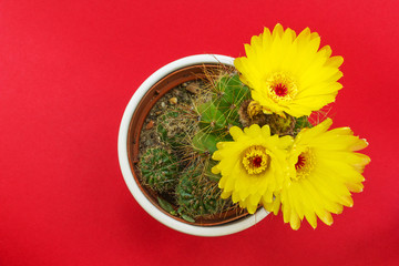 Potted cactus with yellow flowers on red background