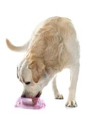 labrador retriever and bowl