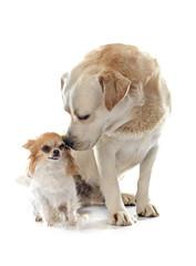 labrador retriever and chihuahua