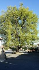 Chêne au printemps