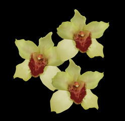 three yellow orchid blooms on black