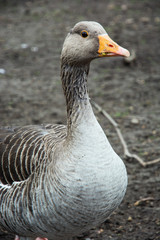 Domestic goose portrait