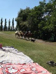 cammelli a passeggio