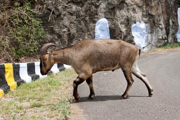 Nilgiri Tahr  (Nilgiritragus hylocrius) crossing the road