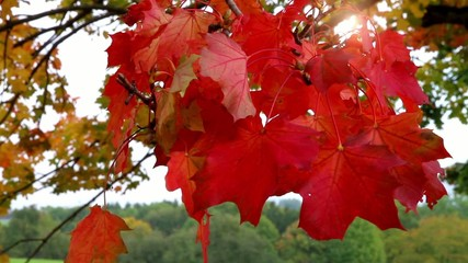 Red maple leaves in the sun