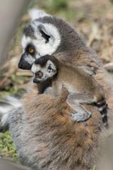 cucciolo di lemure