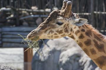 giraffa con fieno