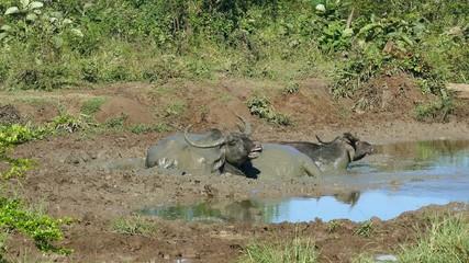 three wild buffalo lying in the mud 4k