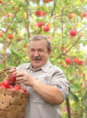 Elderly man harvesting a apple