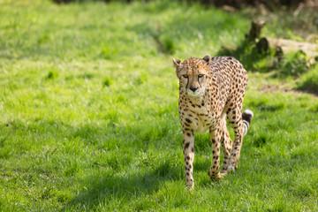 portrait cheetah (Acinonyx jubatus)