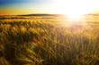 Campos y puesta del sol. Paisaje agrícola de cereales - 81599400
