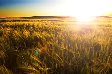 Campos y puesta del sol. Paisaje agrícola de cereales