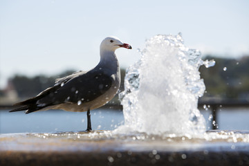 seagull by the fountain